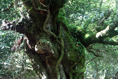 Fagus sylvatica, bosque de frondosas en la Reserva del Saja, Cantabria